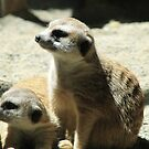 Meerkat Madness by ACImaging
