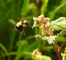 Bee in the Raspberries by PeggCampbell