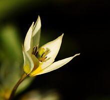 Tulipa turkestanica by Andrew Leighton