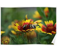 Bees.....and blanket flower Poster