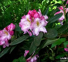 Rhodies Hiding in the Woods by Pat Yager