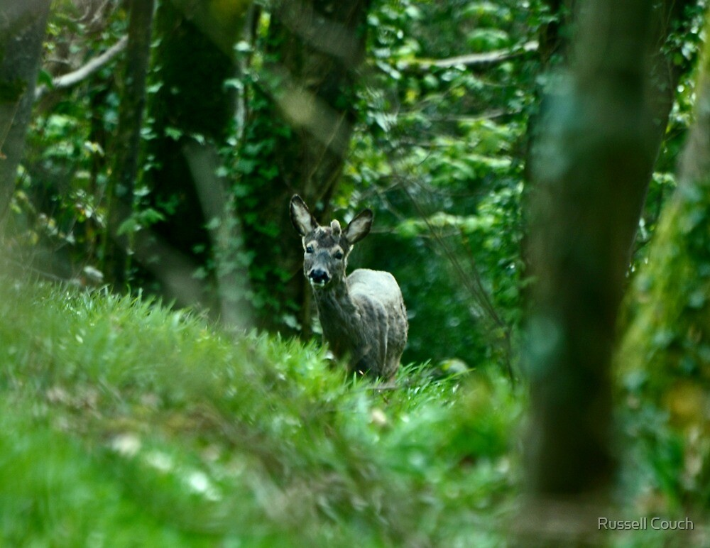 young roe deer  by Russell Couch