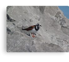 Ruddy Turnstone Canvas Print