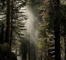 """"""" Sequoia"""" - Sequoia National Park by Timothy Clark"""