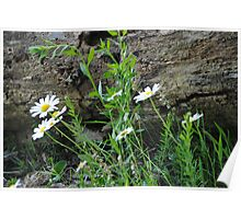 Daisies by a Fallen Tree Poster