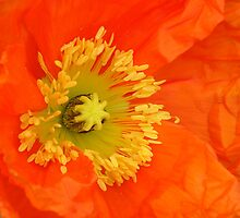 eye popping orange poppy by reneecettie