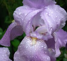 Single Iris in the Rain by MarjorieB