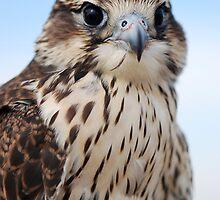Prairie falcon by Lynn Hathaway
