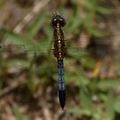 Gold/Blue Dragonfly by Mark Kopczewski