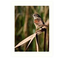 Swamp Sparrow  - Chaffey's Locks, Ontario Art Print
