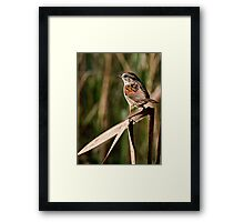 Swamp Sparrow  - Chaffey's Locks, Ontario Framed Print