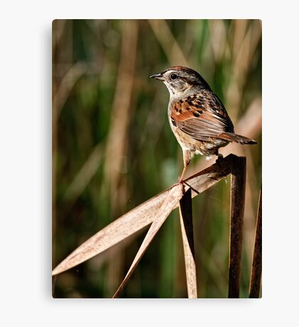 Swamp Sparrow  - Chaffey's Locks, Ontario Canvas Print