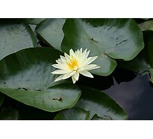yellow waterlily in Goodale Photographic Print