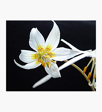Fawn Lily Photographic Print