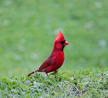 Northern Cardinal by Ryan Conners