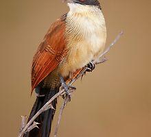 Burchell's coucal (Rainbird) by johanswanepoel