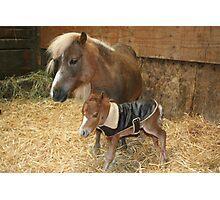 New born mini colt Photographic Print