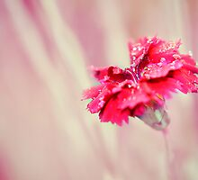 Dianthus Fire Star by Lissywitch