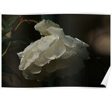 Iceberg Rose after Rain Poster