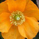 orange poppy - as bright as the sun by monkeyferret