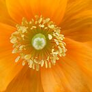 Staring into the sun - orange poppy by monkeyferret