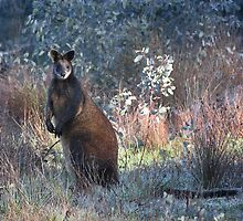 Pretty Wallaby - Howes Creek  by Australis