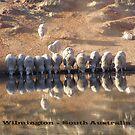 Reflective Sheep - Wilmington South Australia by Linda Hitch