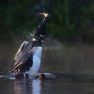 Pisces Rising - Common loon with fish by Jim Cumming