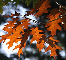 The Changing Leaves Of Autumn Coloured Brightly Red And Gold by coffeebean