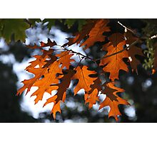 The Changing Leaves Of Autumn Coloured Brightly Red And Gold Photographic Print