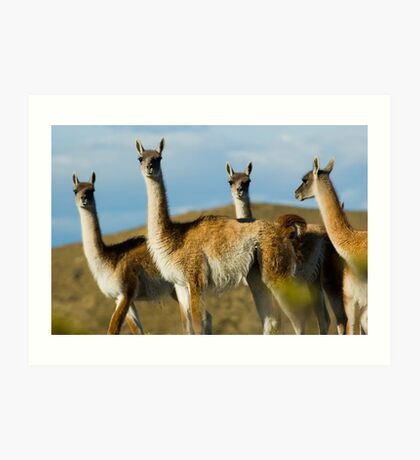 Wild guanacoes in Patagonia. Art Print