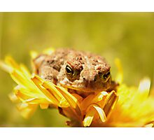 Little Toad And His Dandelion Bed Photographic Print