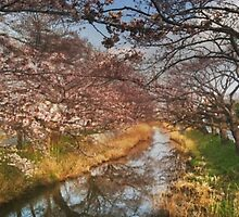 Sakura, As It Was. by J J  Everson