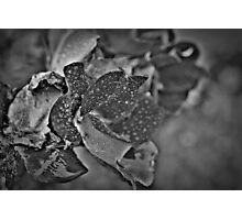 b/w knockout rose Photographic Print