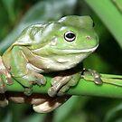 green tree frog by coffeeart
