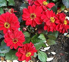 Dance of the Dahlias by BlueMoonRose