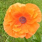 Brilliant Poppy by PDWright
