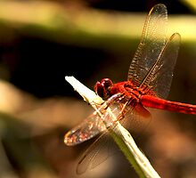 Red Dragonfly by pranab