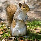 Grey Squirrel Poser! by Geoff Carpenter