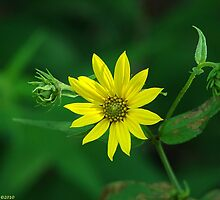 Woodland Sunflower - Helianthus divaricatus by Lee Hiller