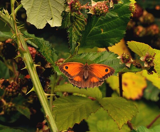 gatekeeper on brambles by Grandalf