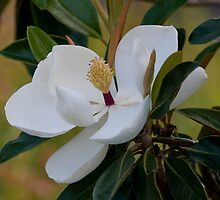 Magnolia by Bonnie T.  Barry