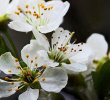 White Blossoms Sticker