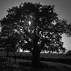 Sunset above on old oak tree by MitchHippie