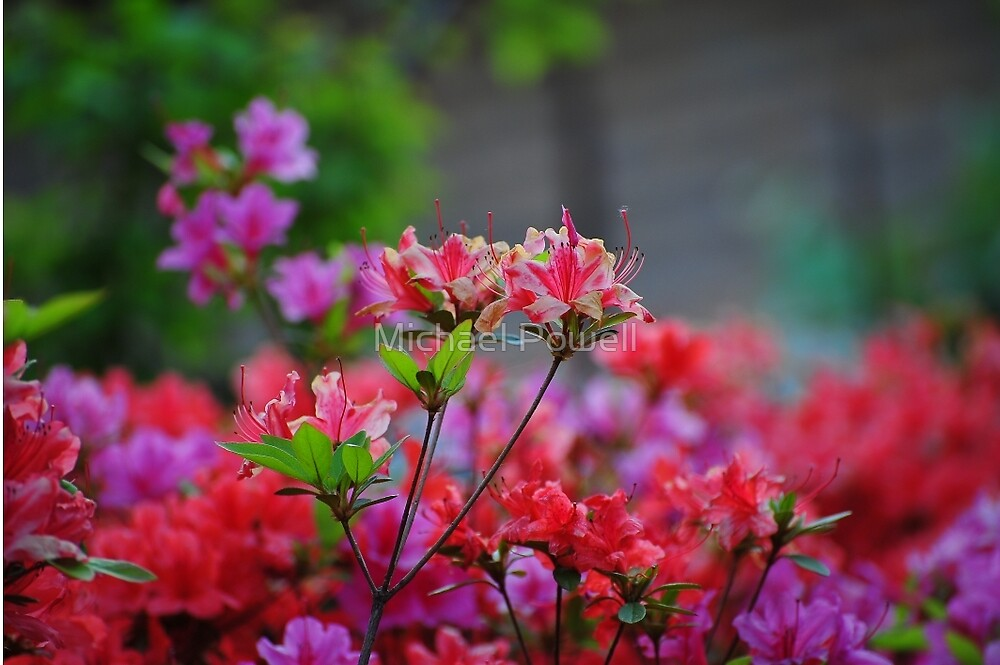 Korean Wild Flowers by Michael Powell