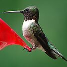 A Male Hummingbird at the Feeder. by barnsis