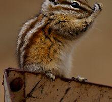 Baby Chipmunk by Betsy  Seeton