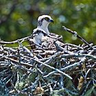 Pair of Baby Osprey in Nest by Memaa