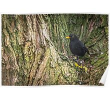 Blackbird Watches From Tree Poster