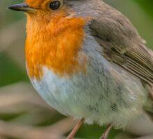 Robin Perched Sticker